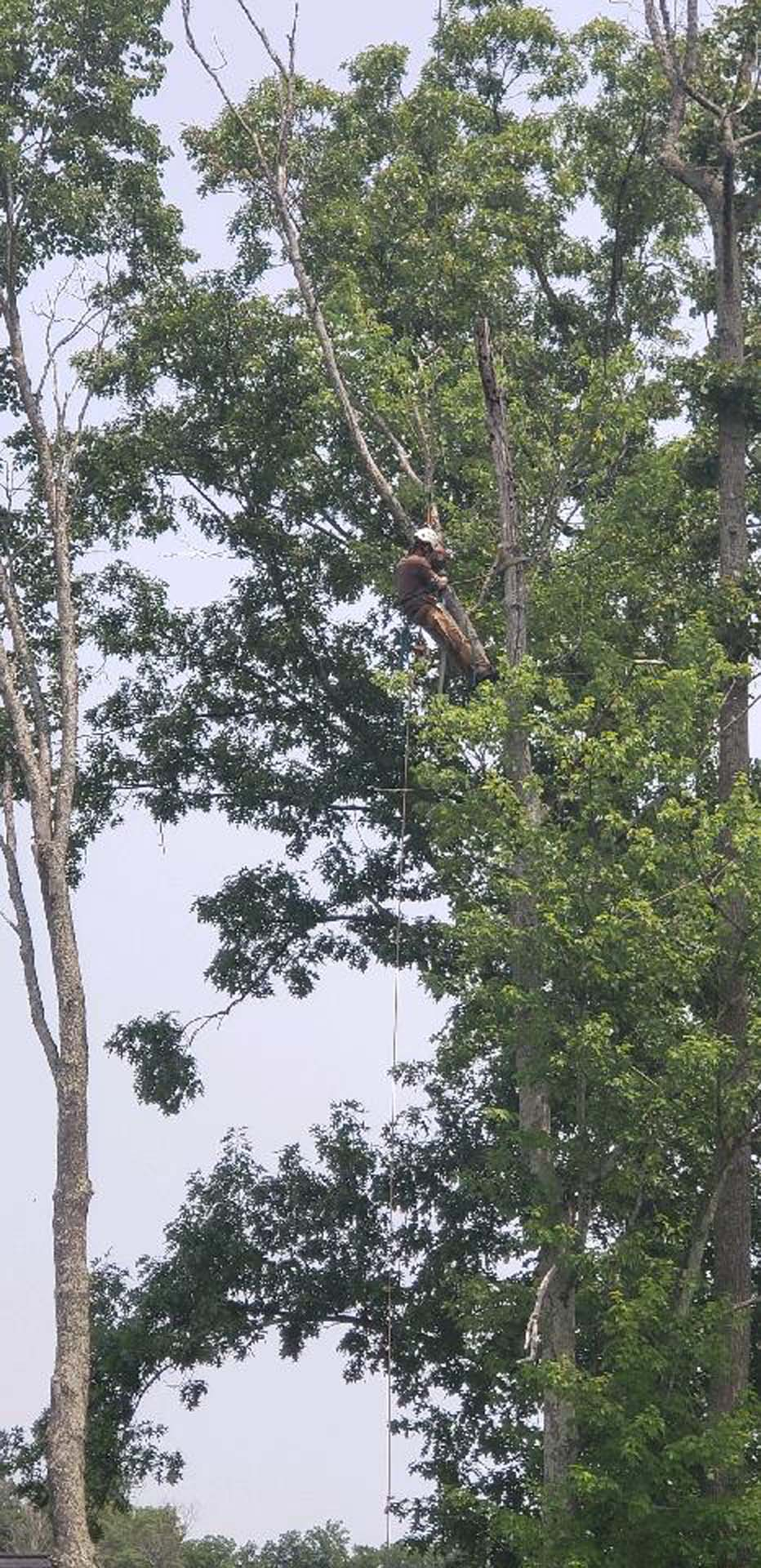 Man Trimming A Tree